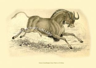 Gnoo (Catoblepas Gnu) Native of Africa